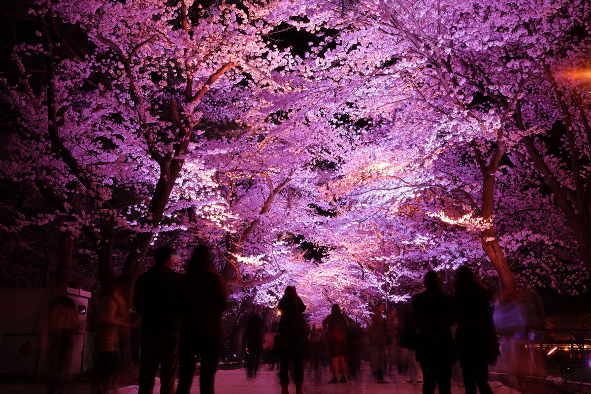 高田公園的夜櫻