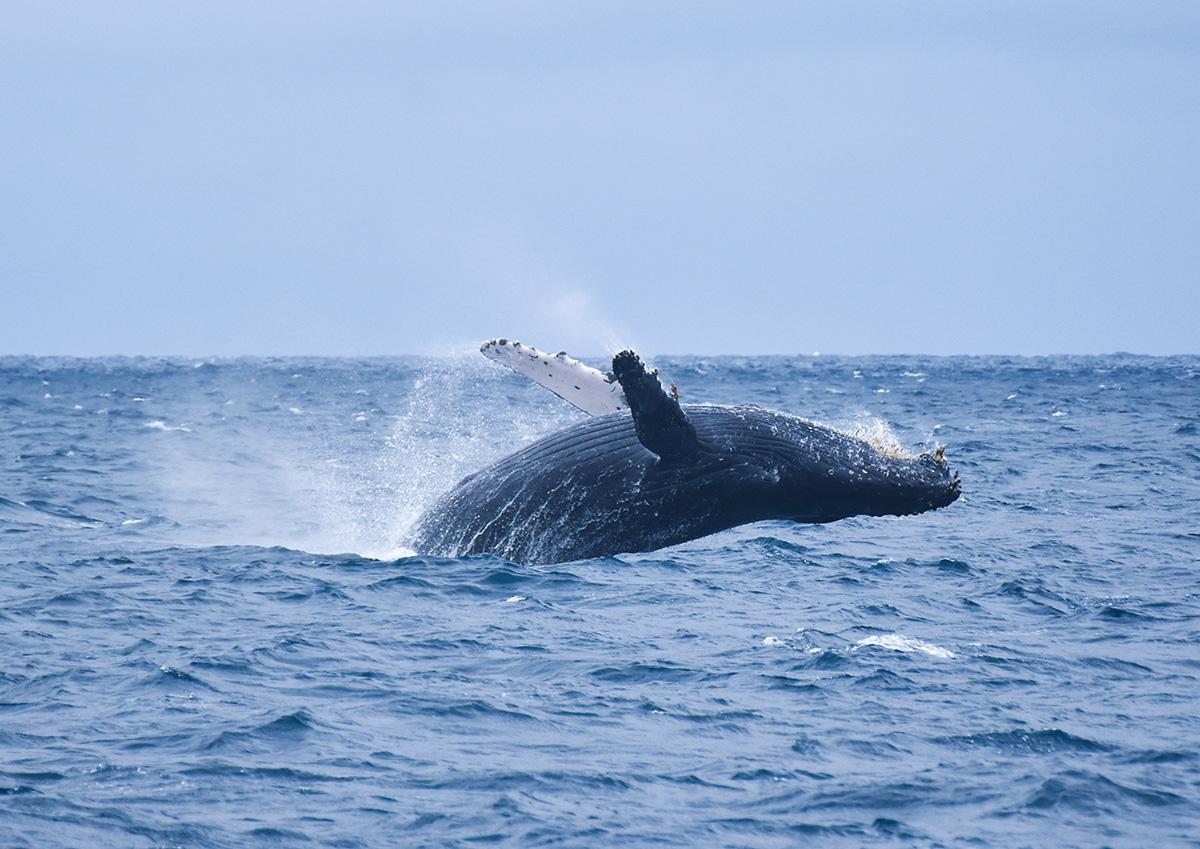 野生的鯨魚