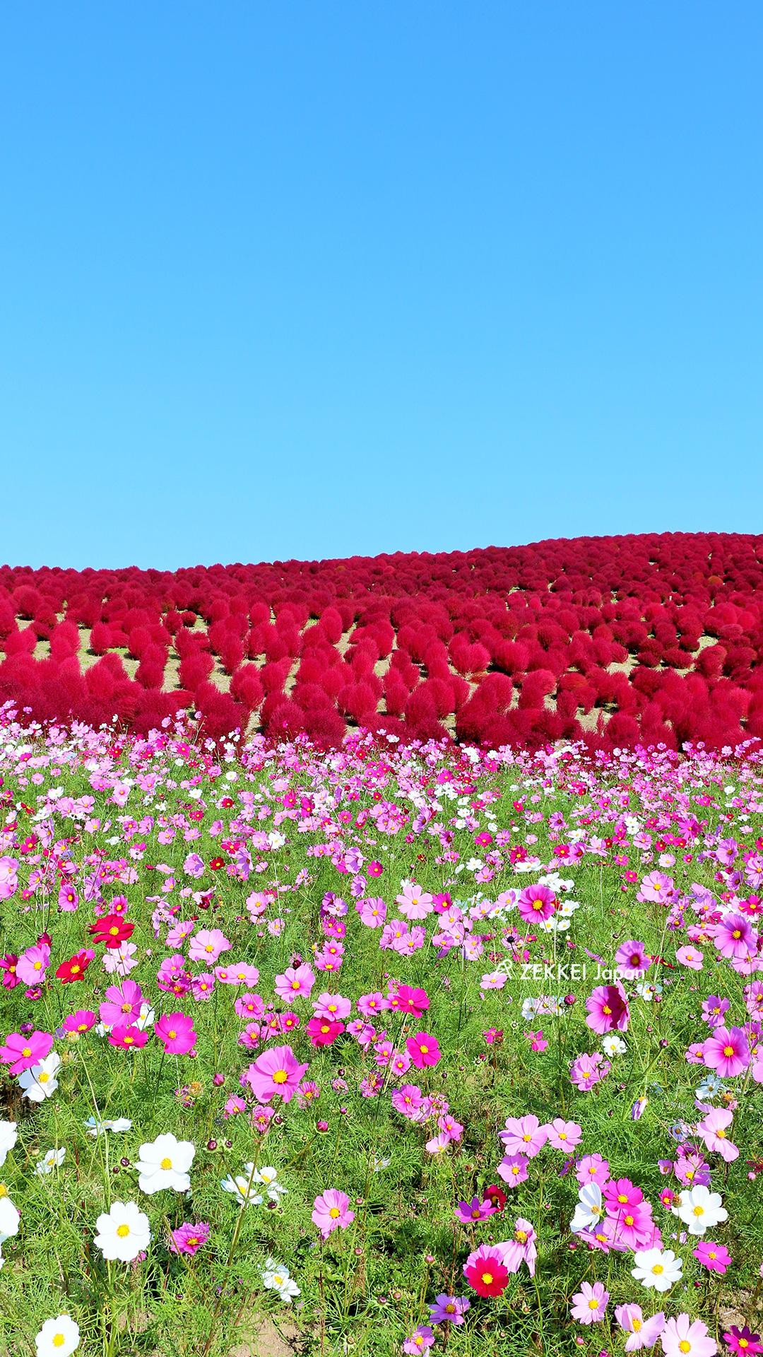 絶景壁紙 花言葉は 乙女の真心 爽やかな空に映えるコスモスの絶景