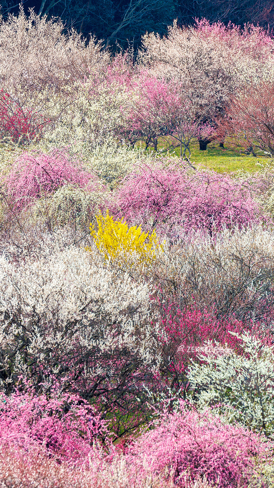 絶景壁紙 春の訪れを告げる梅の絶景をあなたの待ち受けに Zekkei Japan