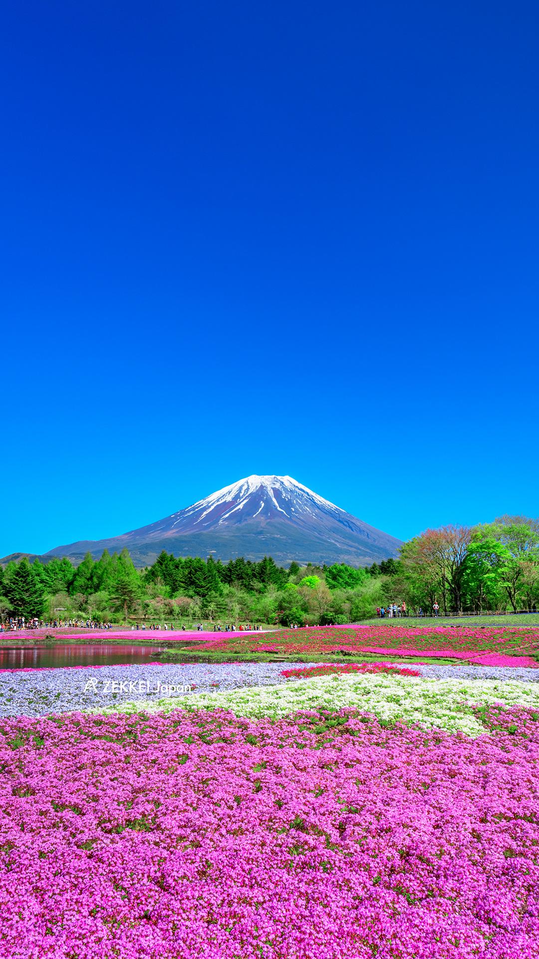 絶景壁紙 メルヘンチックな芝桜の壁紙をあなたの待ち受けに Zekkei Japan