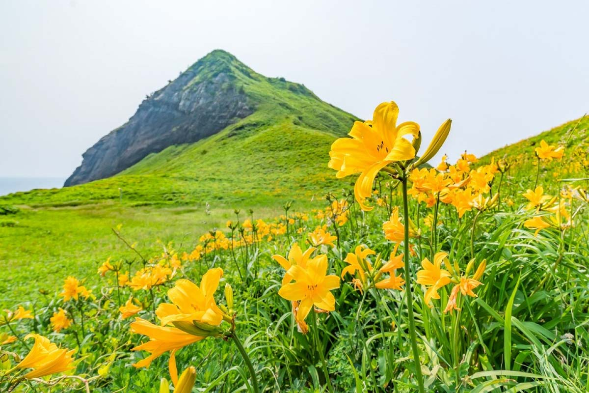 The Amur Day Lilies of Onogame