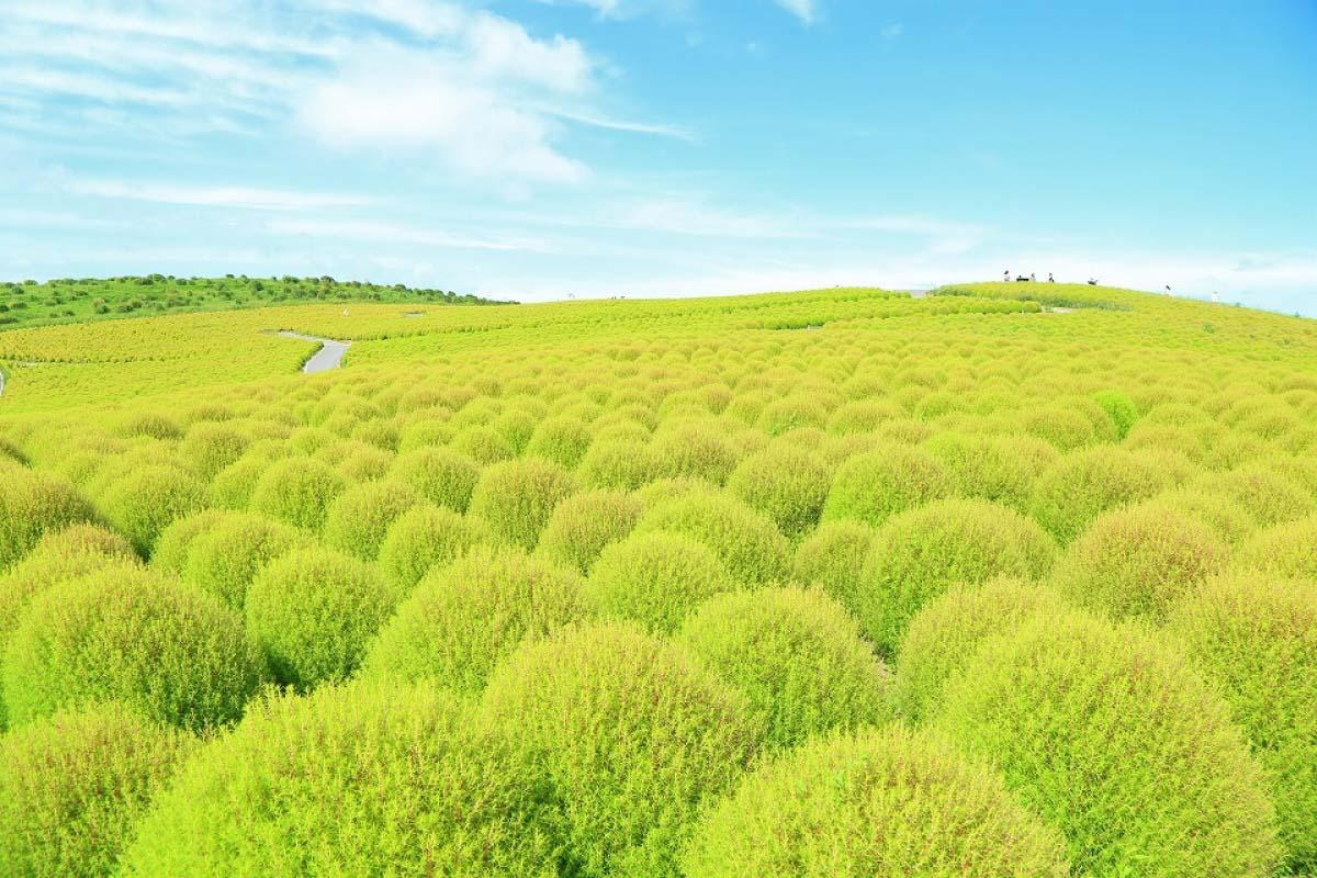 綠葉掃帚草
