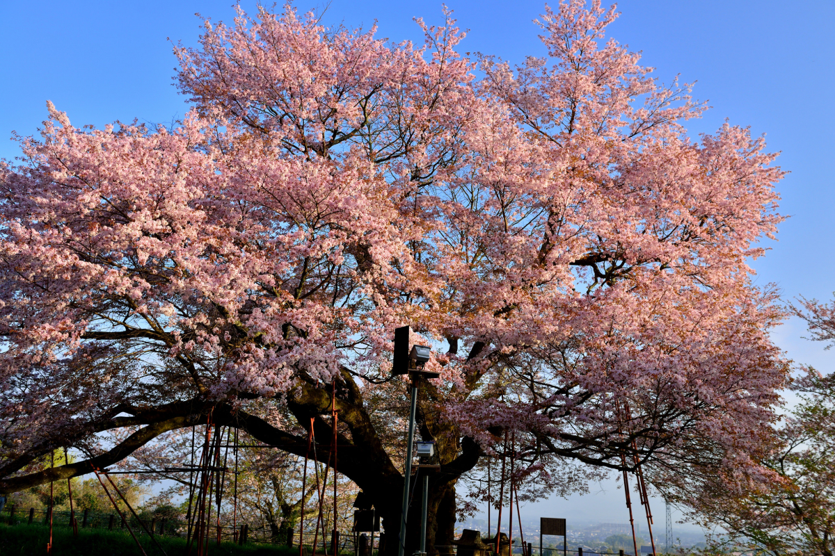 浅井の一本桜3