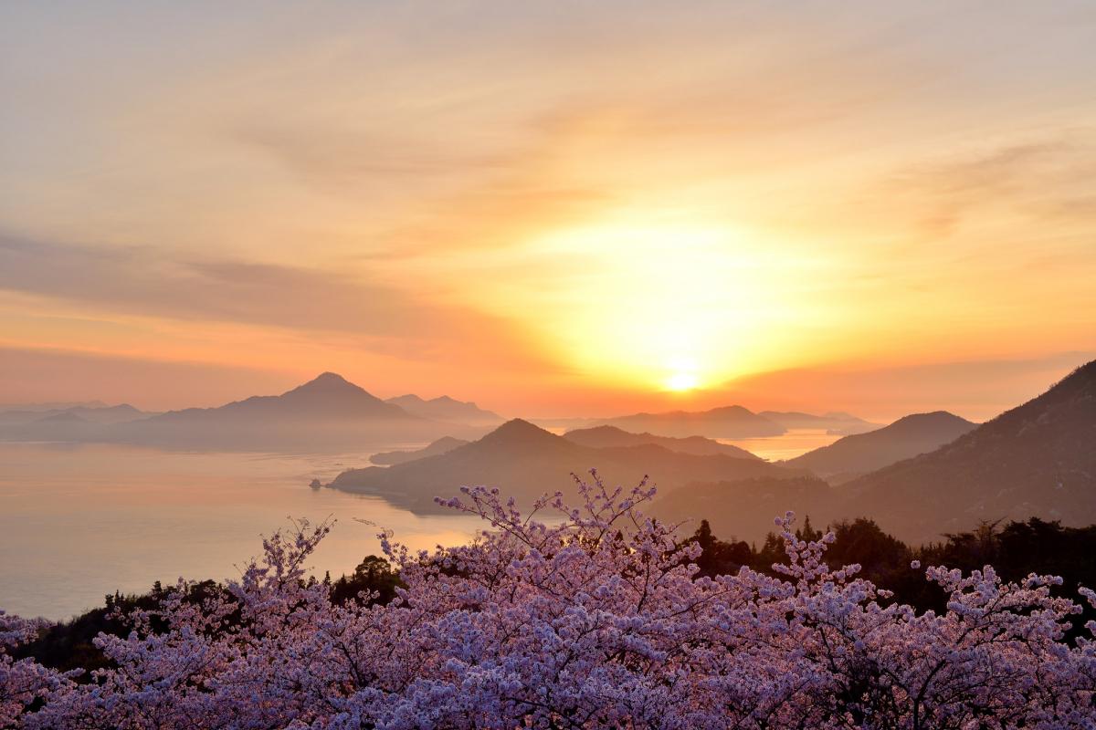 開山公園の桜3