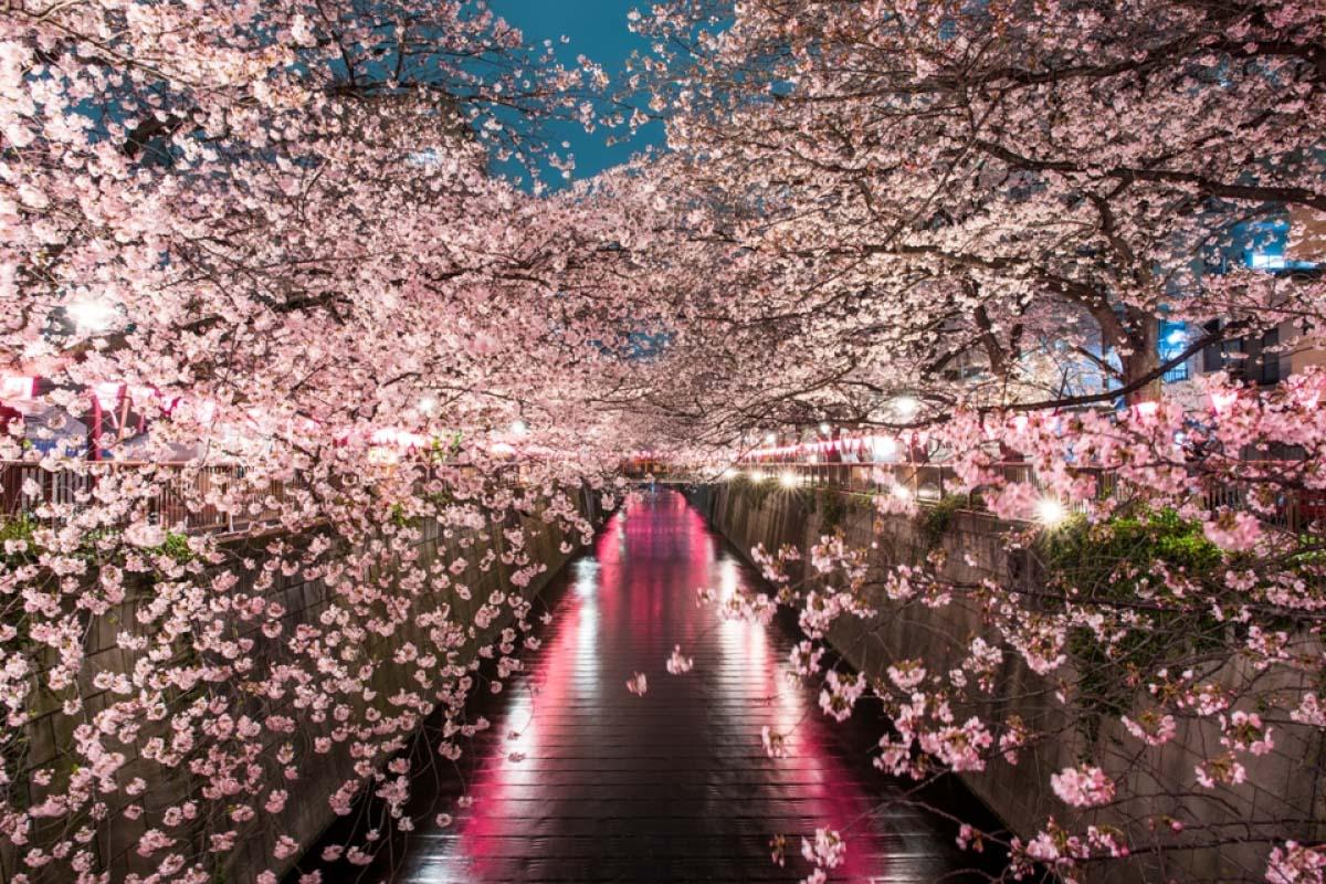 8 Tempat Melihat Bunga Sakura Di Malam Hari Di Tokyo Zekkei Japan