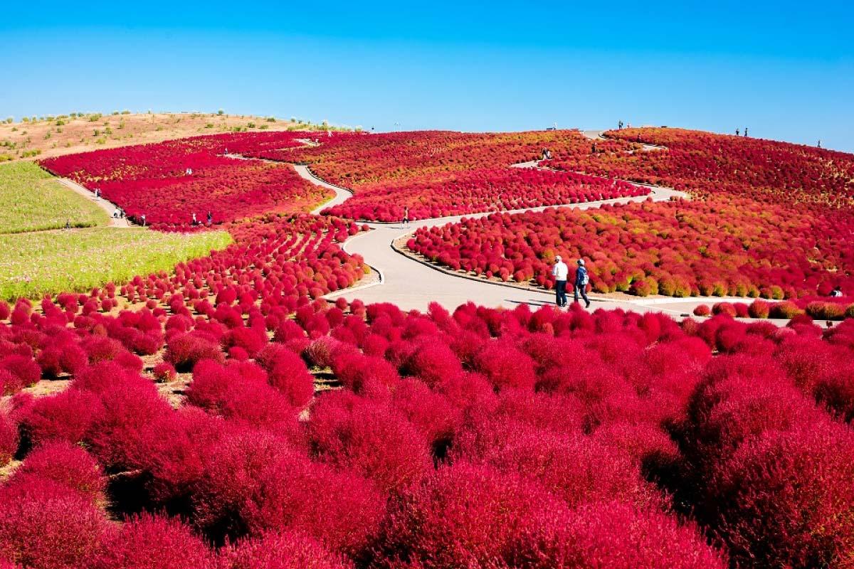 紅葉掃帚草