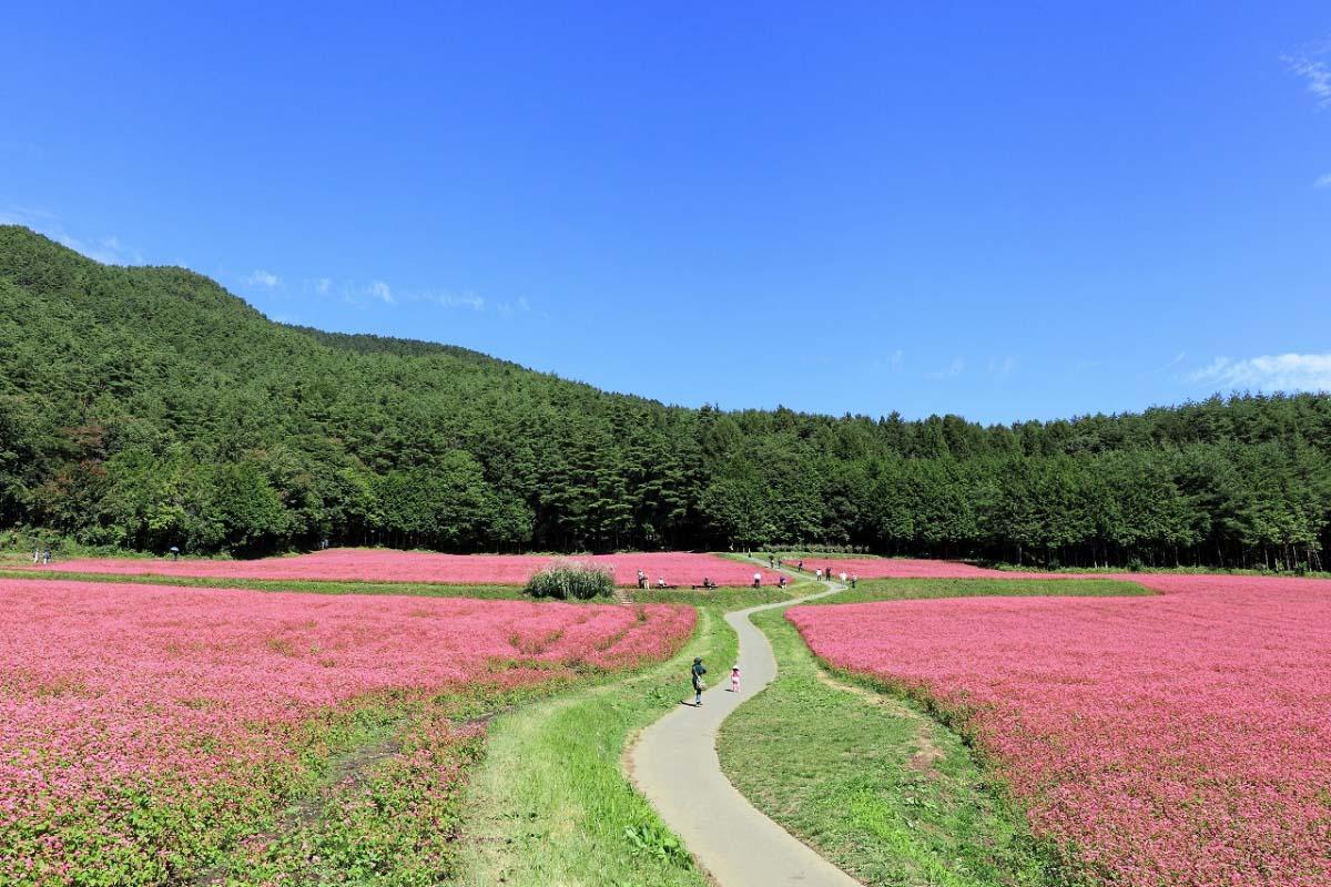 紅蕎麥之鄉