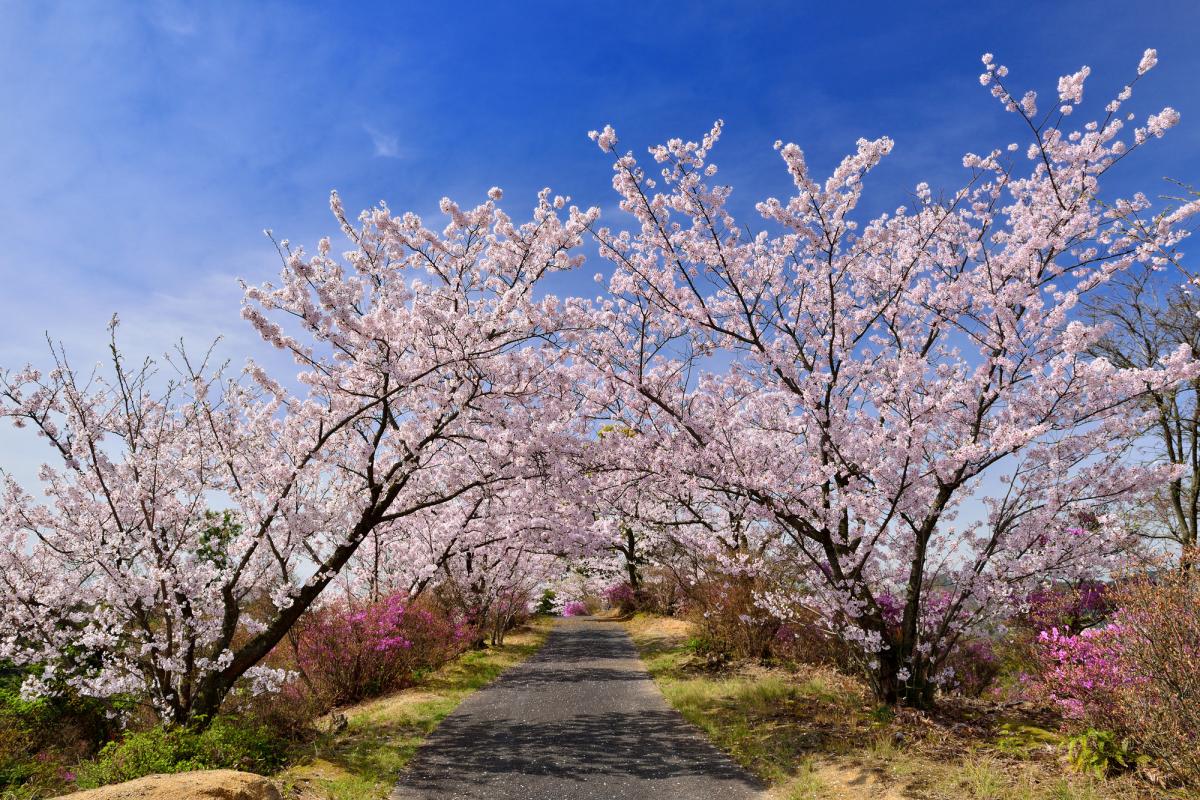 開山公園の桜2