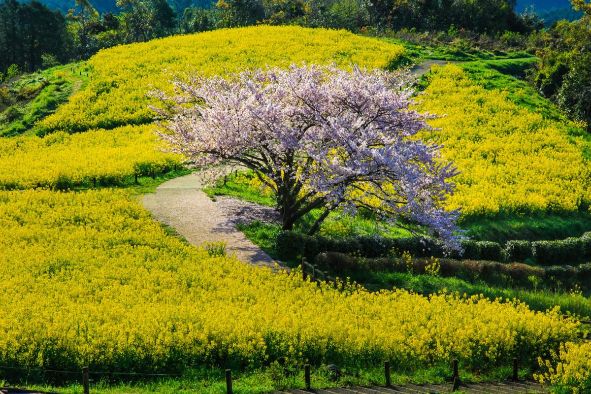 白木峰高原の桜3