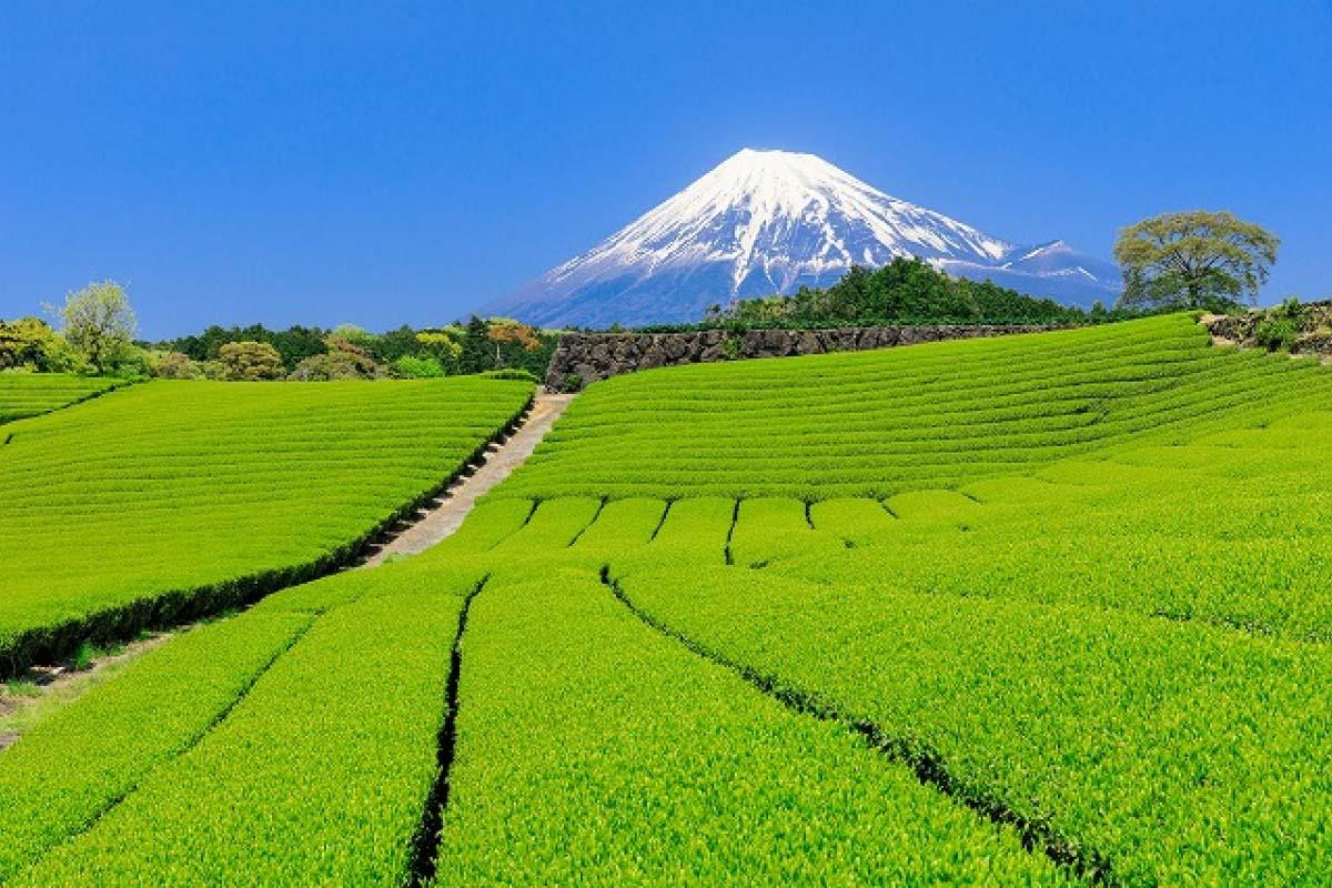 茶田和富士山