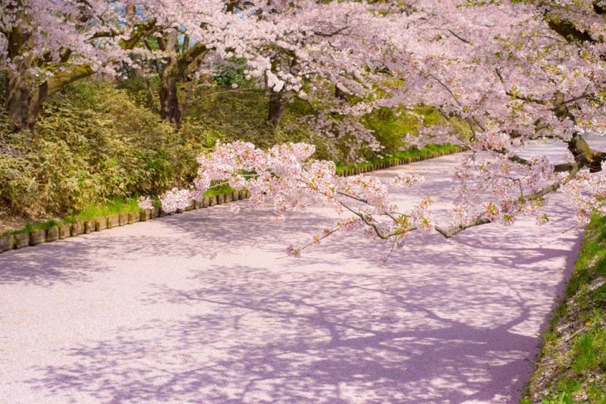 7 cherry blossom tunnels: good to view and good to walk