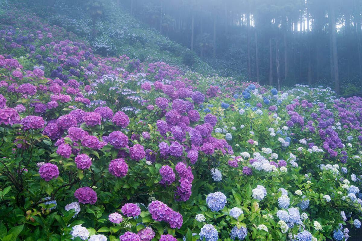 服部農園 紫陽花 千葉