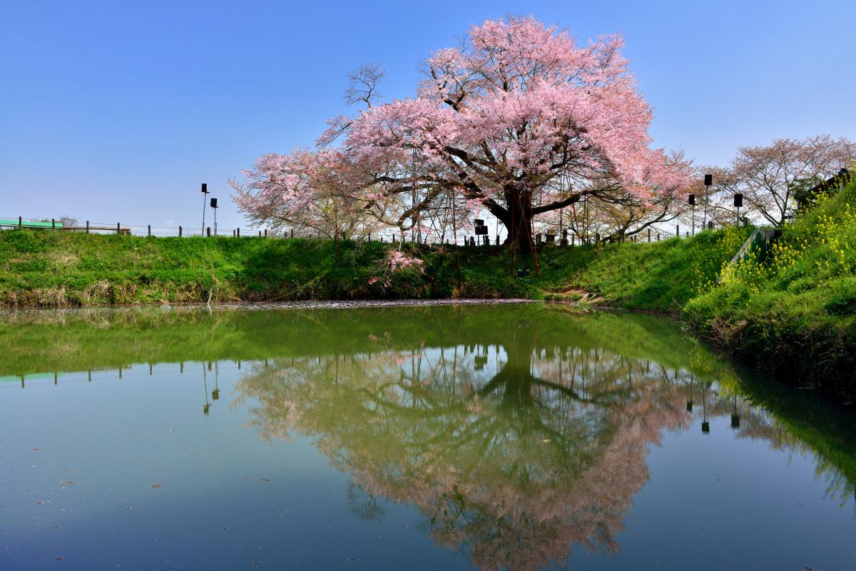 浅井の一本桜2