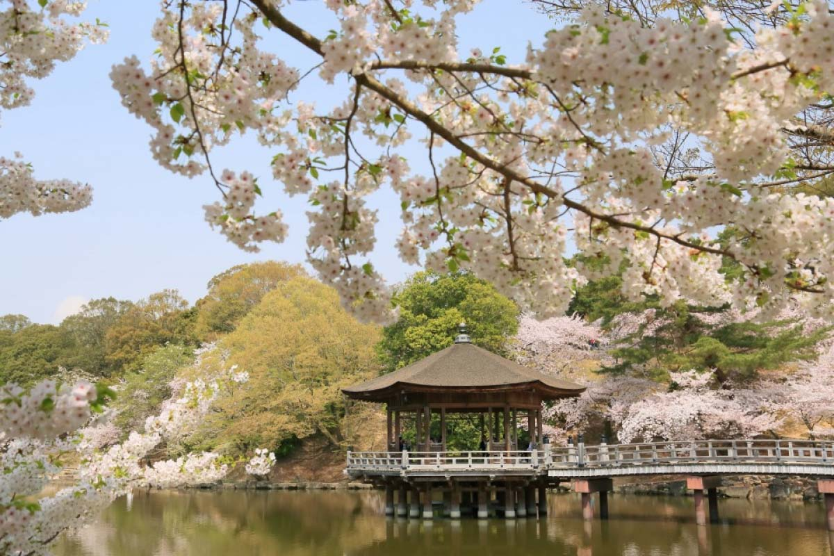 See Japan's original scenery of cherry blossoms of Nara