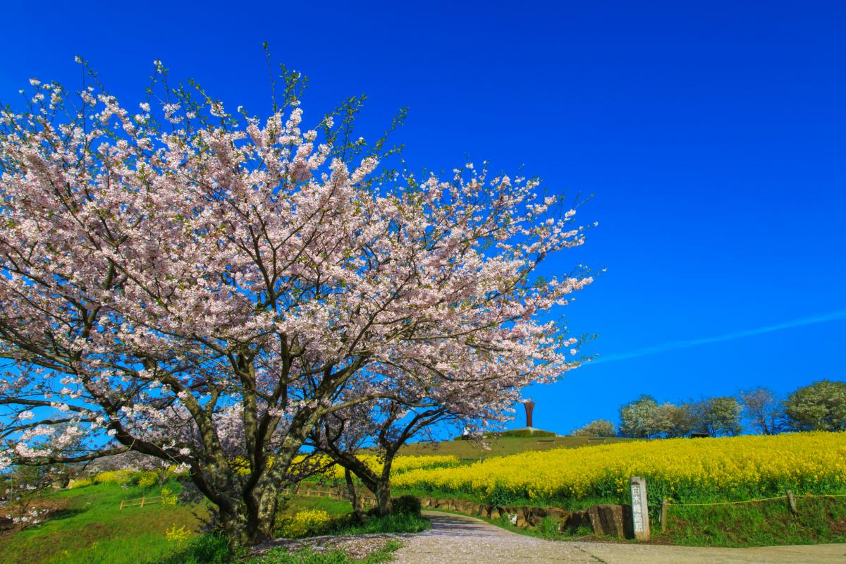 白木峰高原の桜2