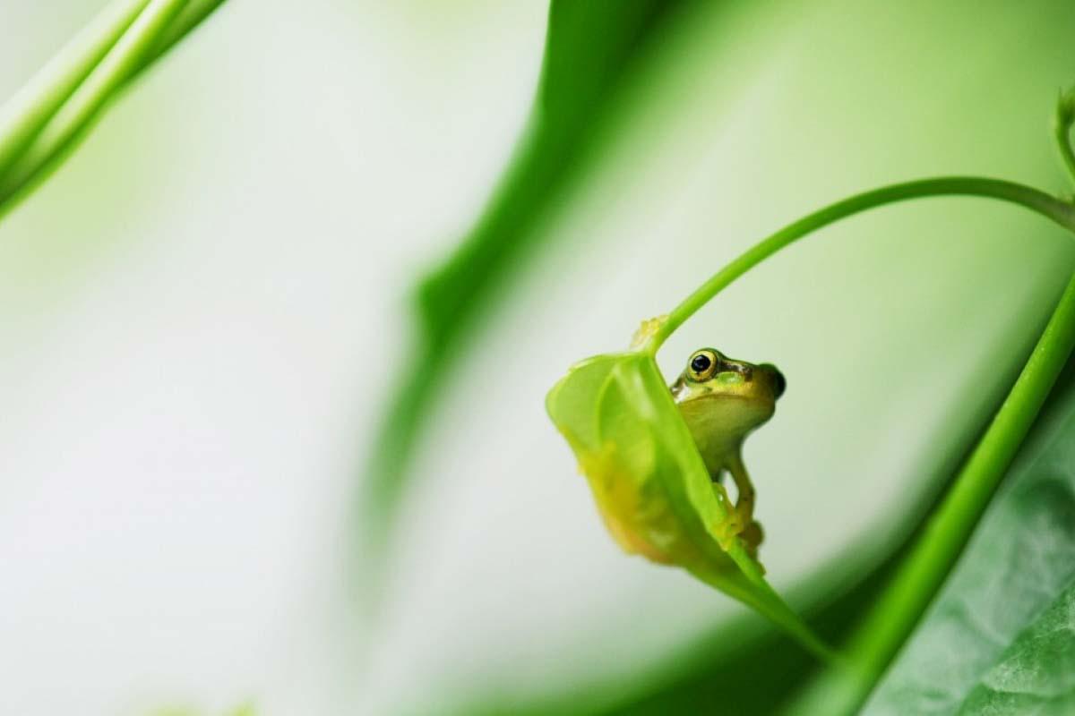 旅かえる 旅行青蛙