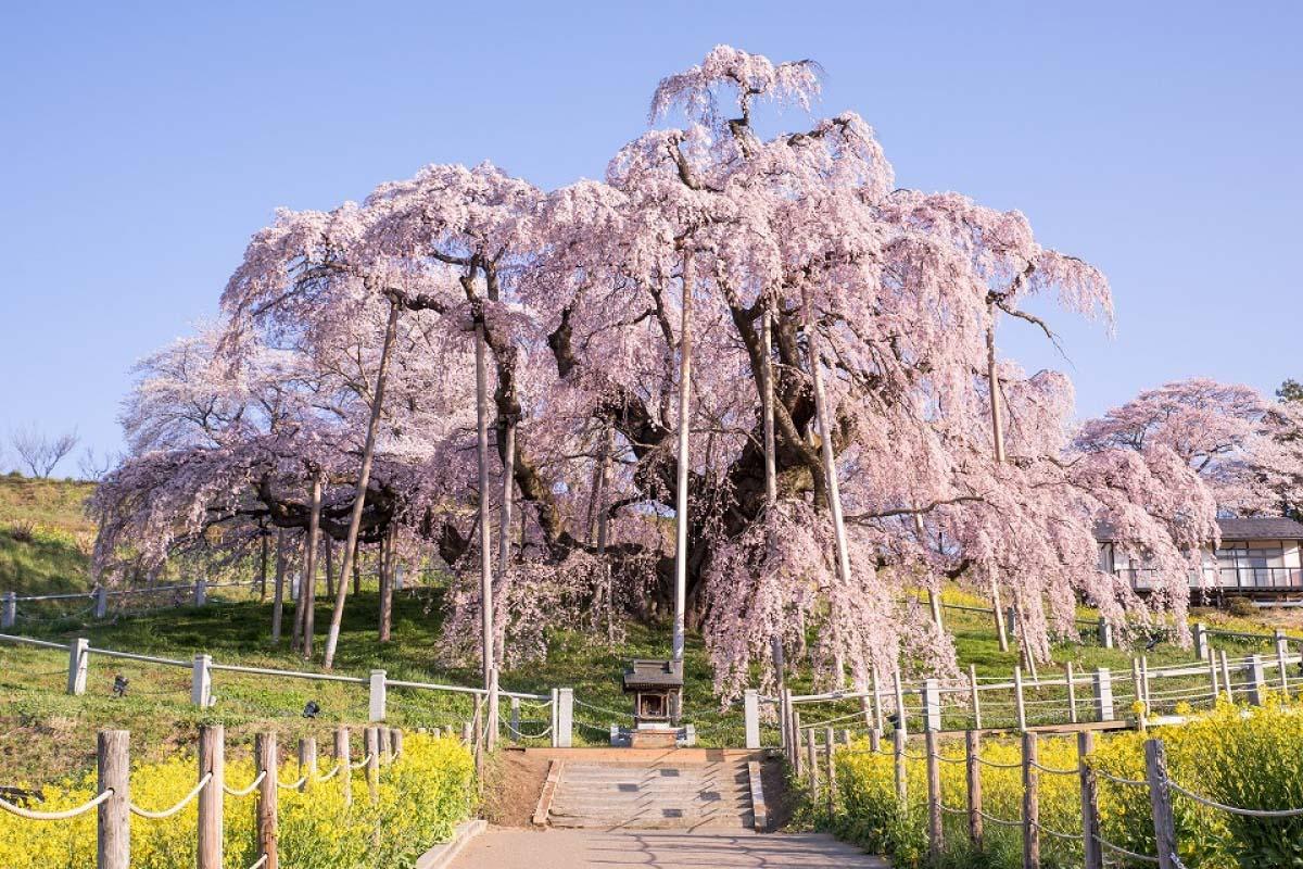 4 Pohon Bunga Sakura bernuansa Mistis di pedesaan pegunungan