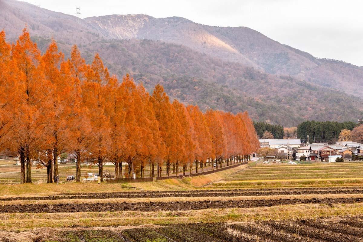 マキノ町のメタセコイア並木