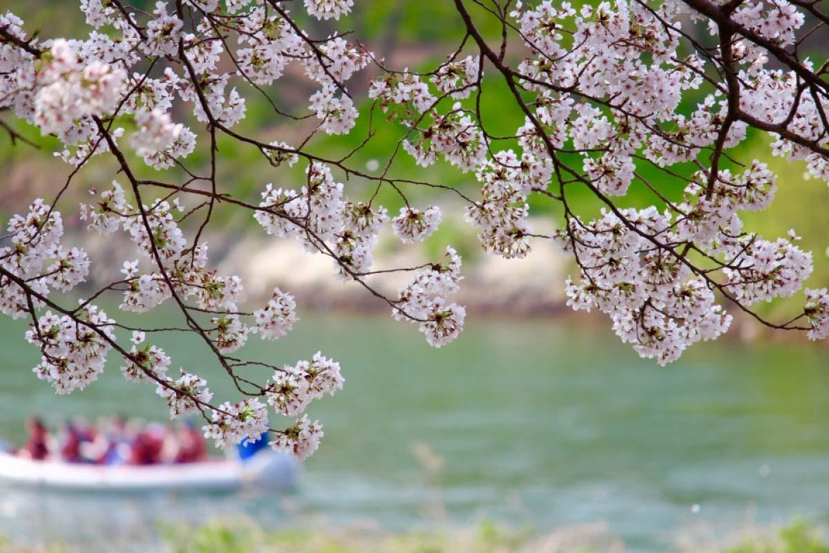 櫻花會見遊船