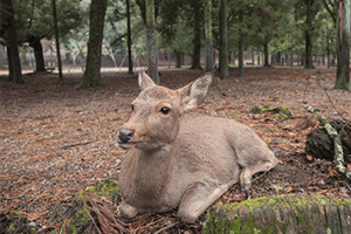 奈良公園 鹿