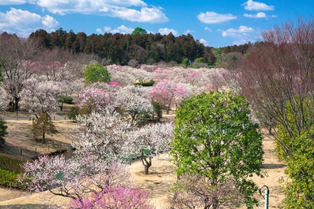 日本  偕樂園