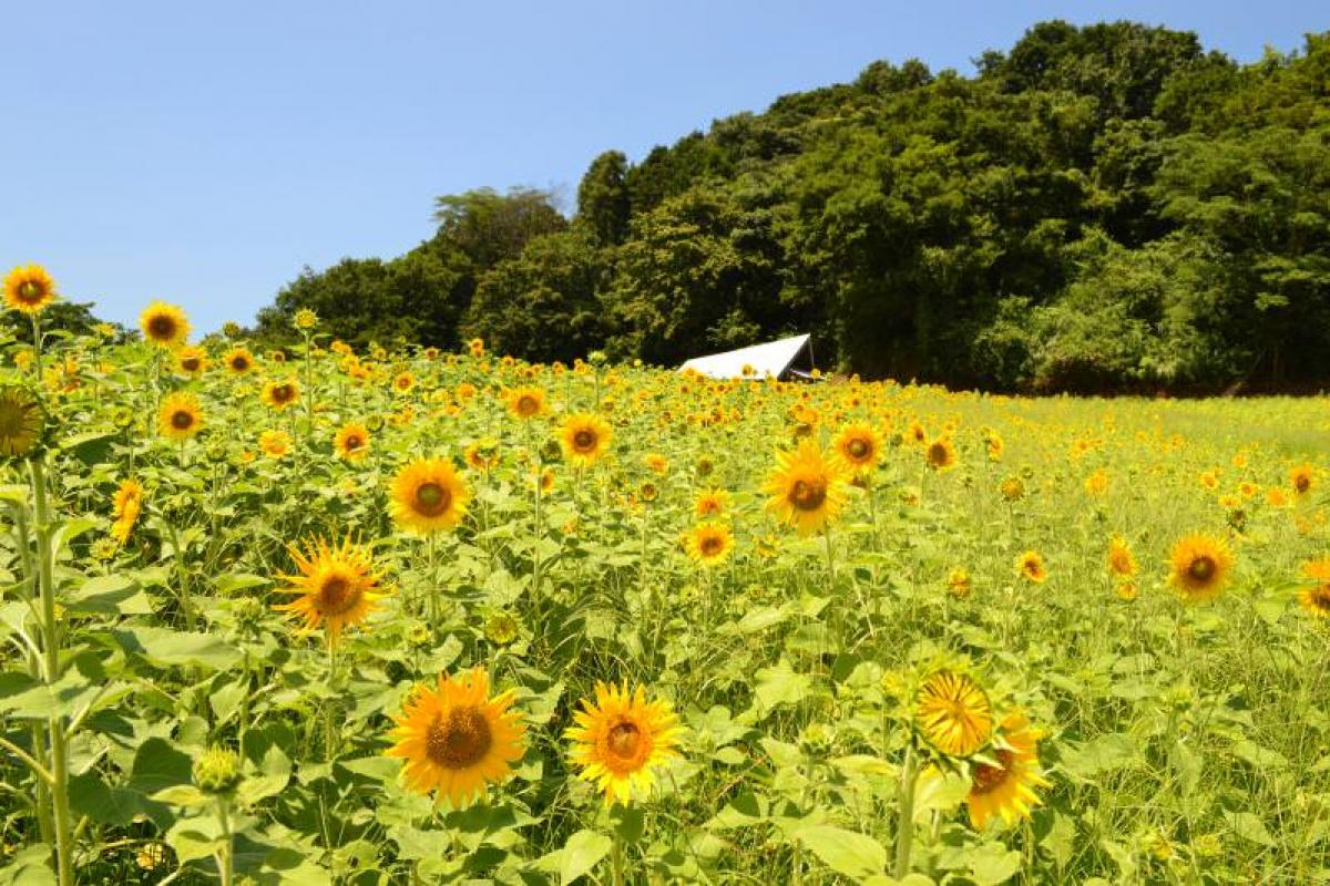 野山嶽ひまわり園