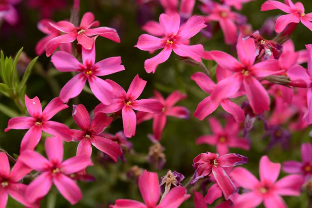 深粉紅色 芝櫻
