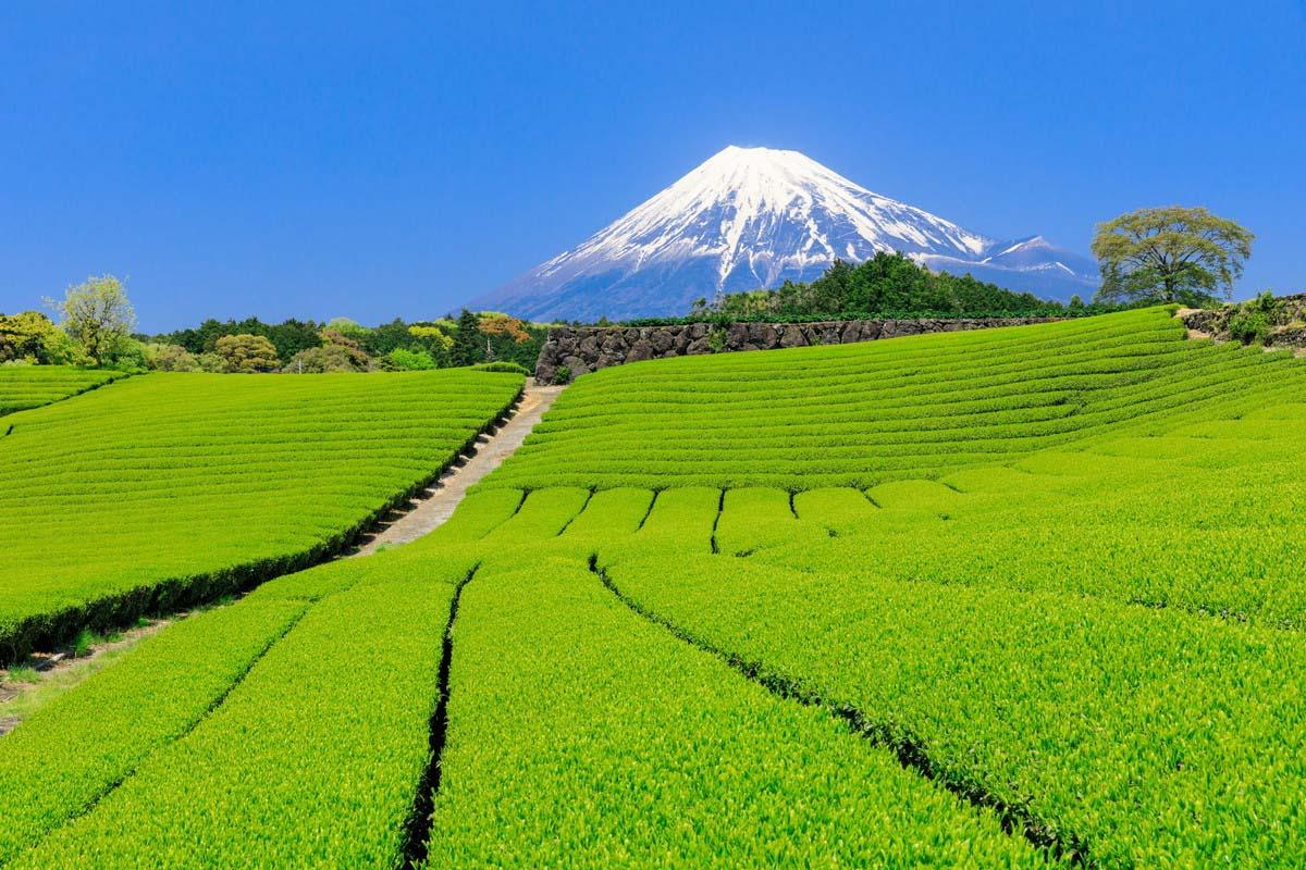 茶田與富士山