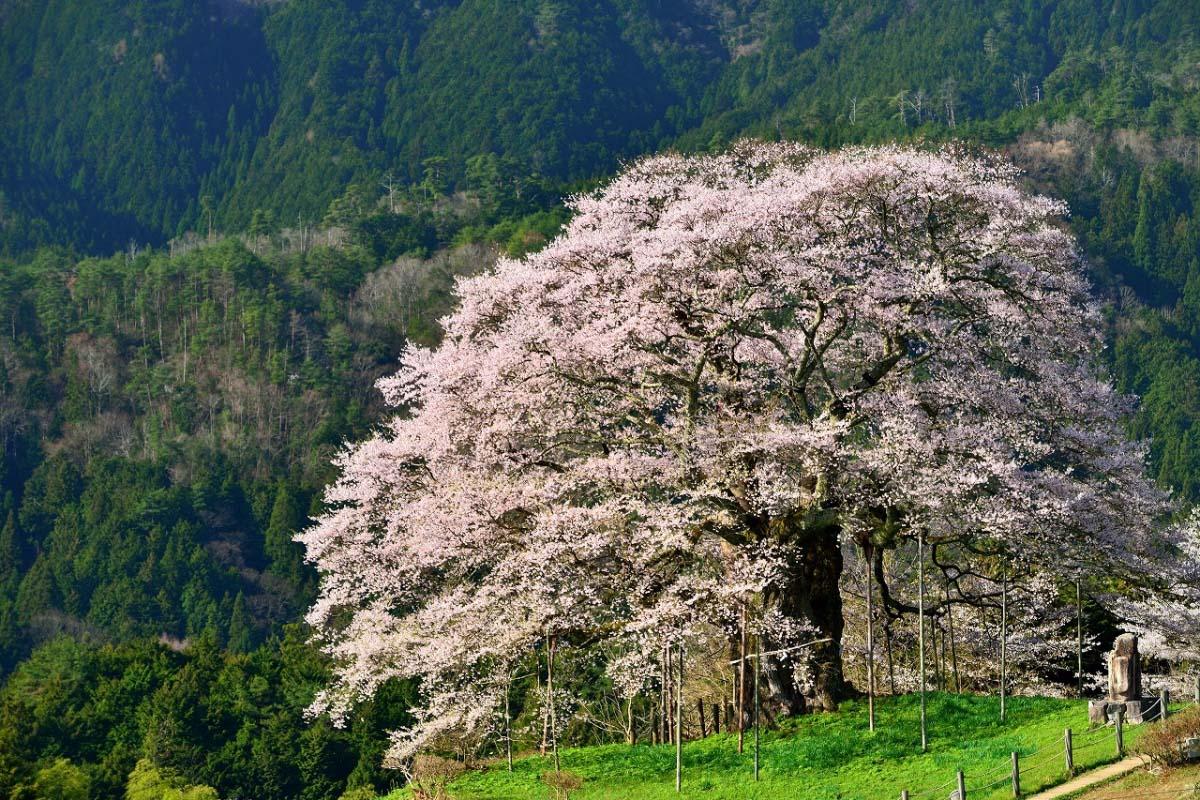 幽玄な佇まいに酔いしれよう!山里に咲く一本桜おすすめ4選