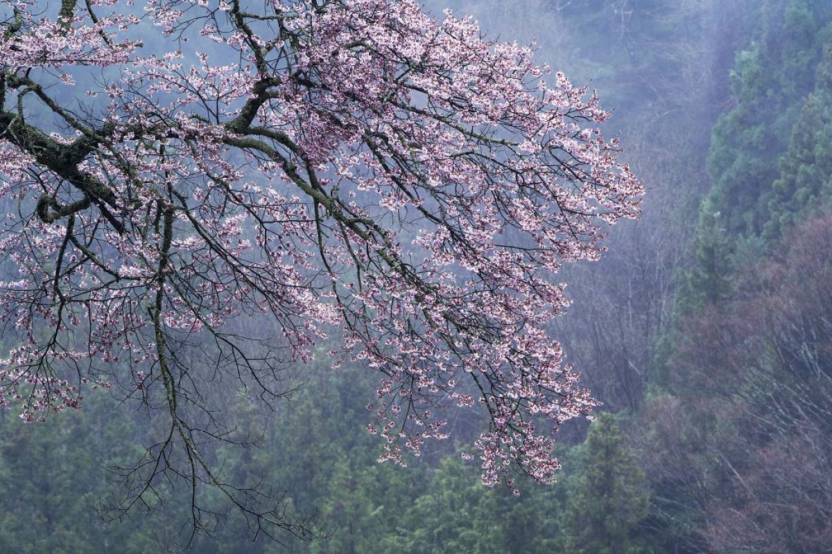 The Cherry Blossom of Komatsunagi