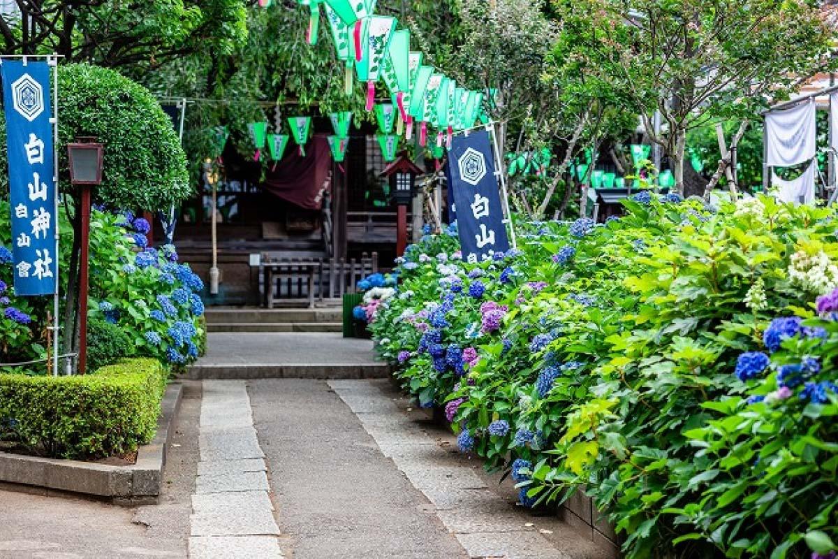 白山神社 紫陽花 東京