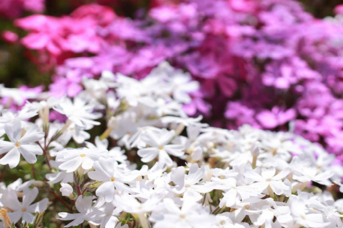 白色 芝櫻