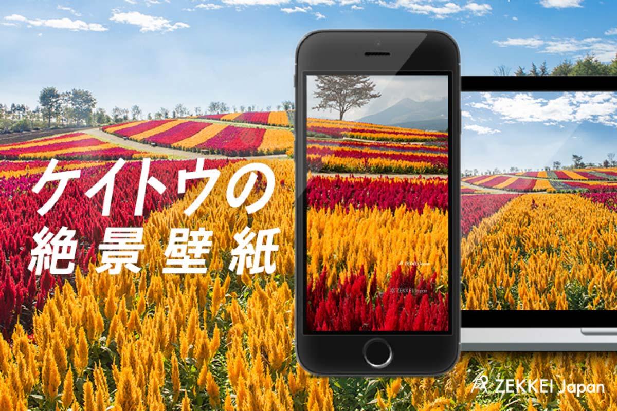 絶景壁紙 秋を彩る まるで炎のような ケイトウ の壁紙 Zekkei Japan