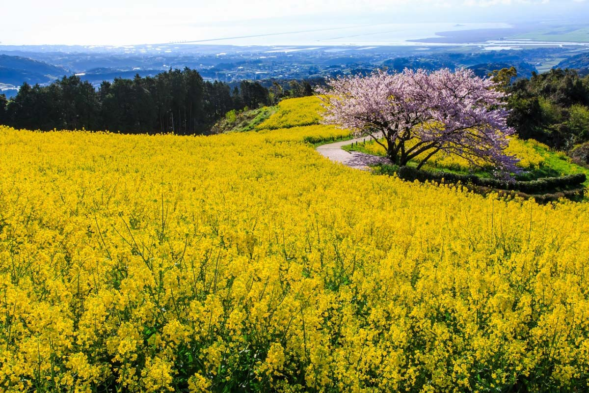 5 cherry blossom spots in Kyushu at superb locations