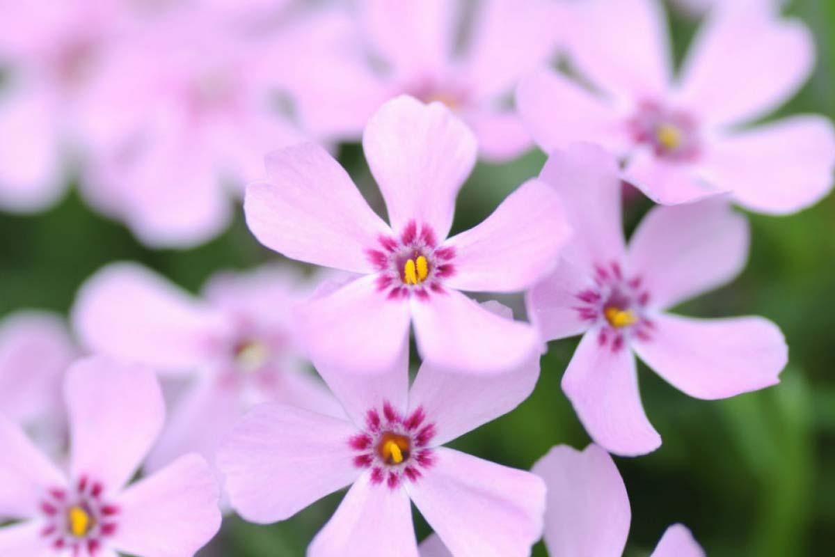 淺粉紅色 芝櫻