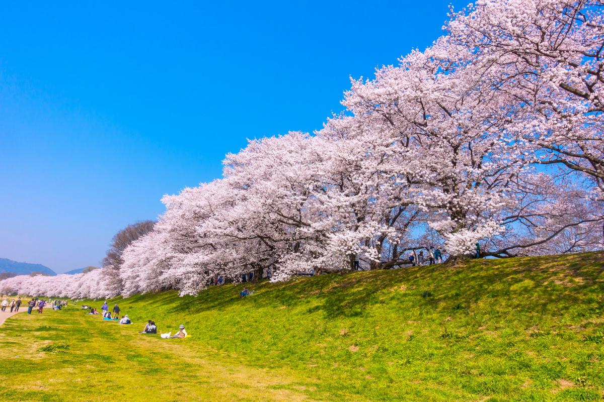 淀川河川公園背割堤の桜
