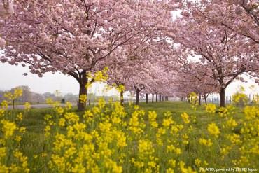赏粉红与金黄交织而成的浪漫绘卷!聆听樱花与油菜花的合奏盛宴