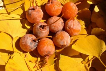 又美又臭又好吃! 秋天的風物詩「銀杏」的臭味來源,竟然跟腳臭一樣!?