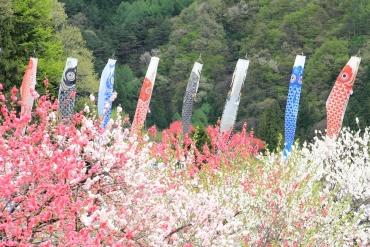 日本江戶時代流傳習俗!去欣賞暢泳在明媚春風中「鯉魚旗」絕景