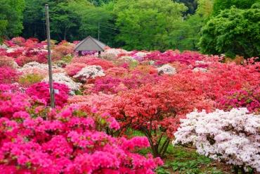 錯過櫻花花季怎麼辦?關東還有繽紛多彩的杜鵑花絕景!