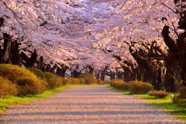 散步櫻花海,帶您沉浸夢幻極境!東日本必賞春櫻隧道絶景
