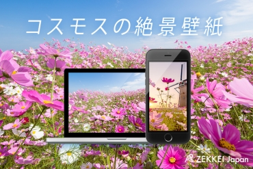 【絶景壁紙】花言葉は「乙女の真心」!爽やかな空に映えるコスモスの絶景壁紙