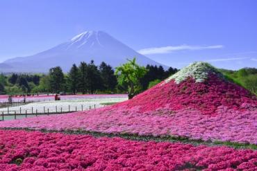 連日本人都還不太知道!距離東京2個小時即可抵達的2大芝櫻祭