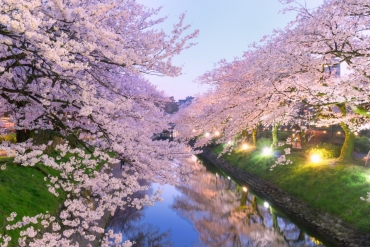 Captivating, Night and Day! March Cherry Blossoms