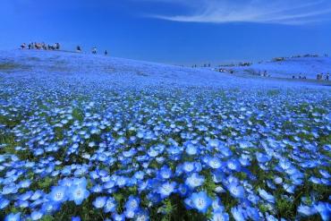 4,5 triệu bông hoa Nemophila trên 3,5 ha đất trồng. Công viên Hitachikaihin - nơi bạn có thể thưởng thức phong cảnh hoa lộng lẫy.