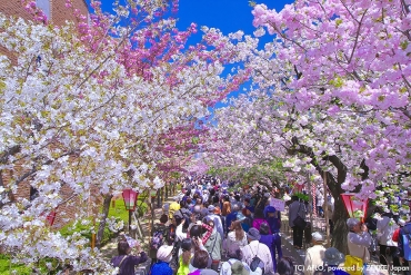 5 best cherry blossom spots in Osaka this year