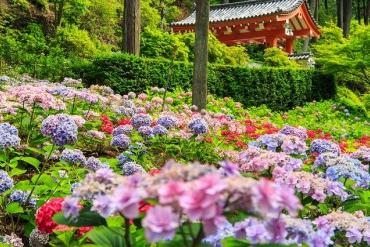 美麗綻放的梅雨季節!佈滿點點雨珠的繡球花景點特集~西日本篇~