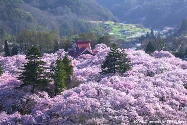 晚春正是賞櫻最佳時機! 精選5大長野縣必賞櫻花絕景