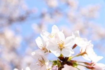 お花見するなら必見!自分で開花を予測できる方法を知ってる?